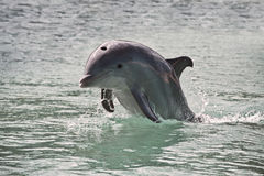 Dolphin. Bottlenose baby dolphin jumping out of the sea water Stock Images