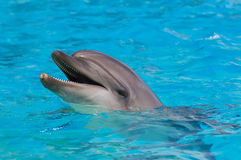 Dolphin. A dolphin in the pool smiling and posing for photo Stock Photography