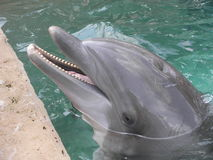 Dolphin. A dolphin in a pool stock image