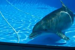 Dolphin - 2. Dolphin swimming in aquarium. Spain Stock Photo
