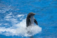 Dolphin. Swimming Royalty Free Stock Photography