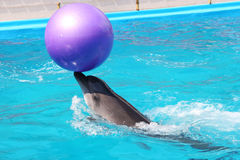 Dolphin. About dolphin who play with ball Stock Images