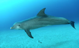 Dolphin. Bottlenose dolphin in water swimming Stock Images