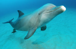 Dolphin. Bottlenose dolphin in water swimming Stock Image