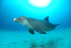 Dolphin. Bottlenose dolphin in water swimming Stock Photo