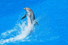 Dolphin. Playing in the pool Royalty Free Stock Images