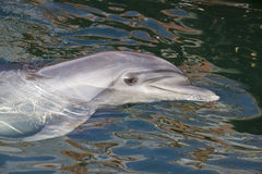 Dolphin. The bottle-nosed dolphin in Utrish dolphinarium near Anapa Royalty Free Stock Images