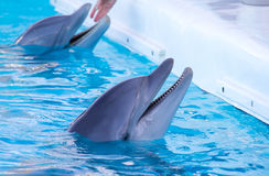 Dolphin Royalty Free Stock Photos