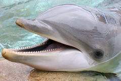 Dolphin. Sumerging in a water background Stock Image