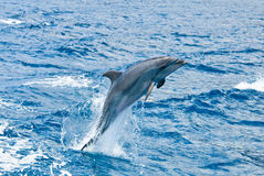 Dolphin. A dolphin jumping out of the water Stock Photography
