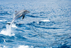 Dolphin. A dolphin jumping out of the water Royalty Free Stock Photos
