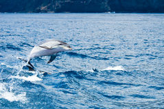 Dolphin. A dolphin jumping out of the water Royalty Free Stock Image