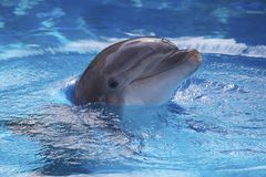 Dolphin. In the water popping his head out with a smile on its face Stock Image