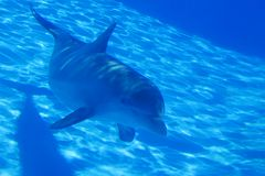 Dolphin. Bottlenose dolphin swimming by in an aquarium Royalty Free Stock Photography