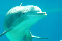 Dolphin. A closeup of a dolphin's face as it swims underwater Royalty Free Stock Photography