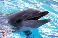 Dolphin. In captivity, in a indoor pool Stock Photo
