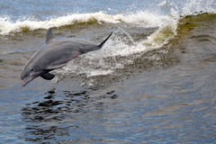 Free Dolphin Royalty Free Stock Images - 29838359