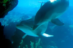Dolphin 3. Dolphins - underwater view Stock Image