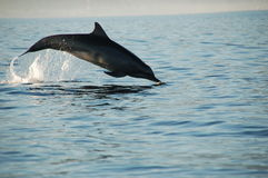 Dolphin. A wild dolphin catch on my camera while we sail in open sea Royalty Free Stock Photography