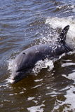 Dolphin. Following boat in intercostal waterway stock images