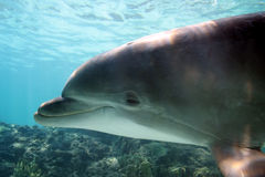 Dolphin. Curious dolphin, underwater Stock Image