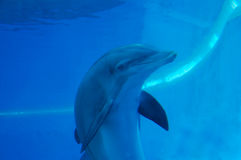 Dolphin. Cute smiling dolhin in fish tank Royalty Free Stock Image