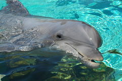 Dolphin. In an Aquarium Royalty Free Stock Image