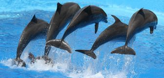Dolphin. Jumps gayly in water Stock Photos