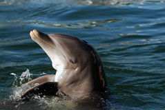 Dolphin. Close-up shot of a buttlednose dolphing Royalty Free Stock Images