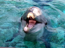 Dolphin. Looking towards the camera  to say hello Royalty Free Stock Image