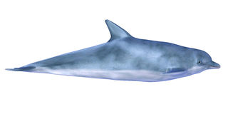 Dolphin. Illustration of a Dolphin on a white background Stock Photos