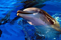 Dolphin. At the Siegfried and Roy's  Habitat at Mirage Resort Hotel, Las Vegas Stock Photography