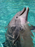 Dolphin. Swimming royalty free stock photos