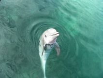 Dolphin. In Yucatan in Mexico Royalty Free Stock Photo