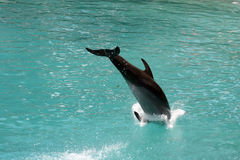 Dolphin. Captured at Florida Royalty Free Stock Photography