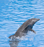 Dolphin. Jumping out of the blue water Stock Images