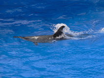 Dolphin. Swimming just under the surface of a pool Royalty Free Stock Images