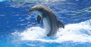 Dolphin. At play Royalty Free Stock Photo