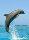 Dolphin. Side view of bottlenose dolphin jumping midair in sea Royalty Free Stock Image