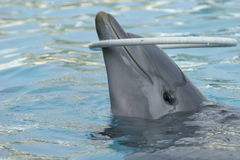 Dolphin. With a ring Royalty Free Stock Photos