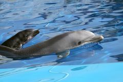 Dolphin. A dolphin swimming in a great pool royalty free stock images