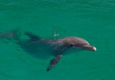 Dolphin. Bottlenose Dolphin swimming in the ocean Stock Images