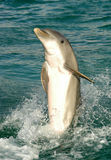Dolphin. A view of a large dolphin almost completely out of the water in a splashing tail stand Stock Image