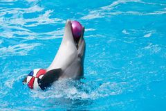 Dolphin. Plays with two balls Royalty Free Stock Photos