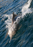 Dolphin. Playing dolphin. Beauty of nature royalty free stock images