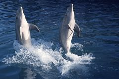 Dolphin acrobacy during dolphins show in Caribbean Royalty Free Stock Photography