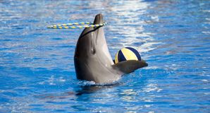 Dolphin acrobat. Dolphin plays with ball and hoop Royalty Free Stock Photo