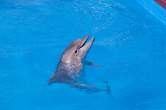 Dolphin of an afalin Royalty Free Stock Photo