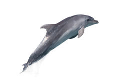 Dolphin of an afalin in a jump Royalty Free Stock Images