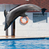 Dolphin Afalina jumping in sea pool Stock Photography
